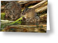Cutest Water Rats Greeting Card by James Peterson