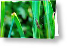Daddy Long Legs  Greeting Card by Toppart Sweden