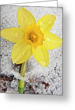 Daffodil In Spring Snow Greeting Card by Adam Romanowicz