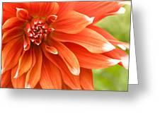 Dahlia IIi - Orange Greeting Card by Natalie Kinnear