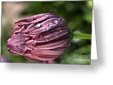 Daisy With Rain Drops Greeting Card by Joy Watson