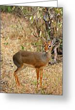 Dik Dik Tsavo National Park Kenya Greeting Card by Amanda Stadther