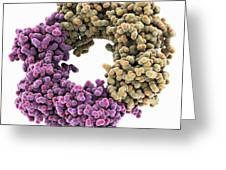 Dna Polymerase IIi Subunit Molecule Greeting Card by Science Photo Library