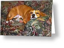 Dog - Mr. Oliver Is Comfy Greeting Card by Maureen Tillman