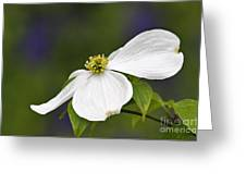 Dogwood Blossom - D001797 Greeting Card by Daniel Dempster