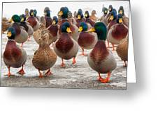 Duckorama Greeting Card by Bob Orsillo