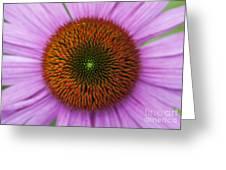 Echinacea Purpurea Rubinglow flowers Greeting Card by Tim Gainey