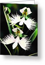 Egret Orchids Greeting Card by Shere Crossman