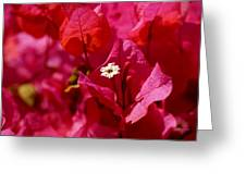 Electric Pink Bougainvillea Greeting Card by Rona Black