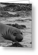 Elephant Seal Conteplation Greeting Card by Gwendolyn Barnhart