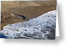 Elephant Seal Sunning On Beach Greeting Card by Garry Gay