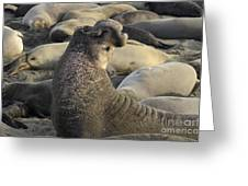 Elephant Seals Greeting Card by Bob Christopher