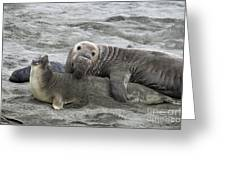 Elephant Seals Mating Greeting Card by Mark Newman