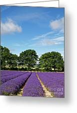 English Lavender Fields Near Selborne Hampshire Greeting Card by Alex Cassels