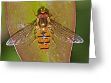 Episyrphus Balteatu Greeting Card by Paul Scoullar