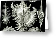 Examples of Prosranchia Greeting Card by Ernst Haeckel