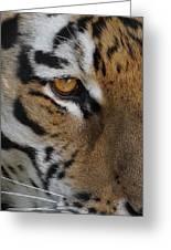 Eye Of The Tiger Greeting Card by Ernie Echols