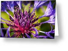 Fairy Dust - Centaurea Greeting Card by Matt Dobson