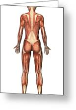 Female Muscular System, Back View Greeting Card by Stocktrek Images