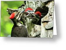 Female Pileated Woodpecker At Nest Greeting Card by Mircea Costina Photography