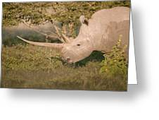 Female white rhinoceros grazing Greeting Card by Science Photo Library
