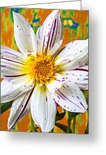 Fireworks Dahlia White And Pink Greeting Card by Garry Gay