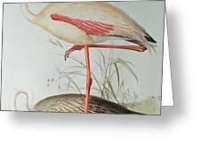 Flamingo Greeting Card by Edward Lear