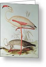Flamingo Greeting Card by Edward Lear
