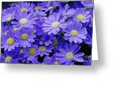 Florists Cineraria Hybrid Greeting Card by Geoff Bryant