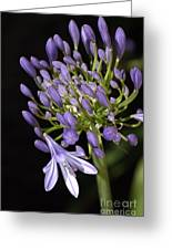 Flower- Agapanthus-blue-buds-one-flower Greeting Card by Joy Watson