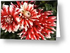 Flower-dahlia-red-white-trio Greeting Card by Joy Watson