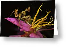 Flower Mantis Nymph Greeting Card by Mark Moffett