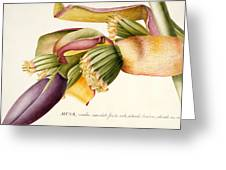 Flower of the Banana Tree  Greeting Card by Georg Dionysius Ehret