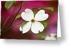 Flowering Dogwood Blossoms Greeting Card by Oscar Gutierrez