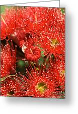 Flowers-red Eucalyptus-australian Native Flora Greeting Card by Joy Watson