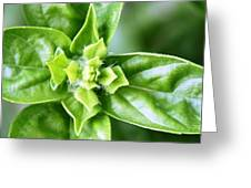 Fresh Basil Greeting Card by French Toast