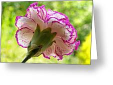 Frilly Carnation Greeting Card by Gill Billington