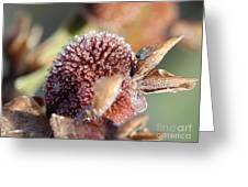 Frozen Dew Drops Melt From Canna Lily Seed Pods Greeting Card by J McCombie