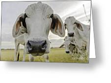 Funny Cows Greeting Card by Cindy Bryant