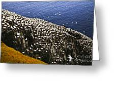 Gannets At Cape St. Mary's Ecological Bird Sanctuary Greeting Card by Elena Elisseeva