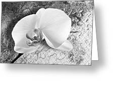 Gentle White Orchid Greeting Card by Ron Regalado