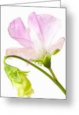 Geranium Pink Greeting Card by Anne Gilbert