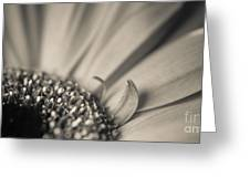 Gerbera Blossom - Bw Greeting Card by Hannes Cmarits