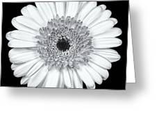Gerbera Daisy Monochrome Greeting Card by Adam Romanowicz