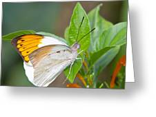 Giant orange tip butterfly Greeting Card by Jane Rix