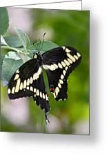 Giant Swallowtail Butterfly Greeting Card by Saija  Lehtonen