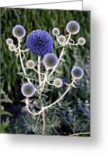 Globe Thistle Greeting Card by Rona Black