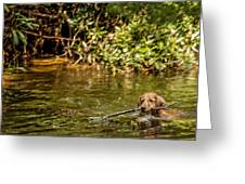 Golden Retriever Swimming Greeting Card by Darlene Bell