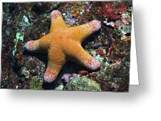 Granulated Seastar Greeting Card by Science Photo Library