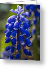 Grape Hyacinth Greeting Card by Adam Romanowicz